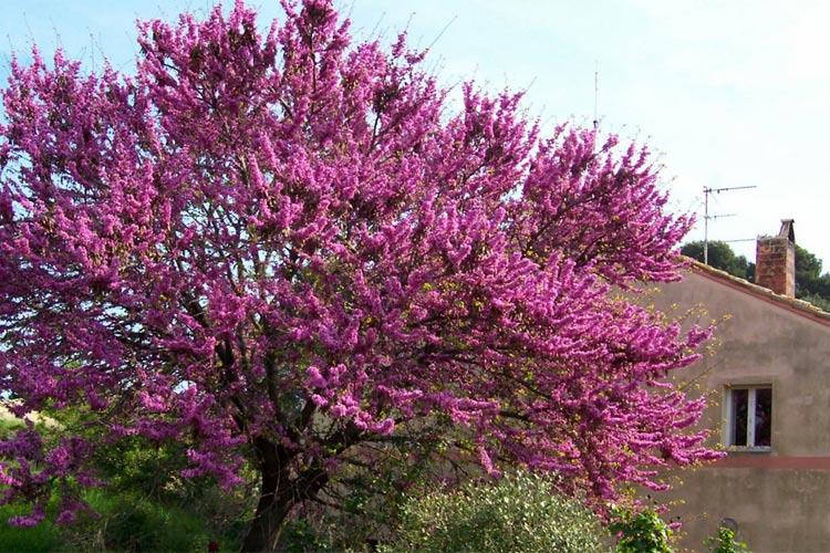 albero-giuda.jpg