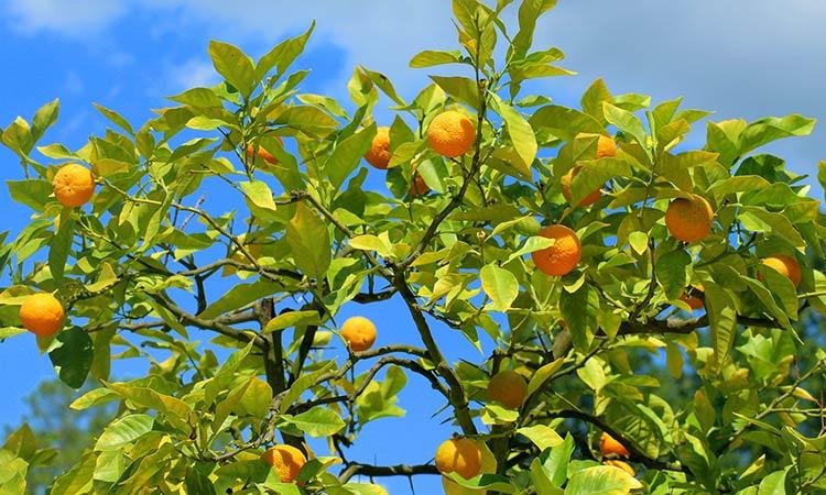 mandarino-albero.jpg
