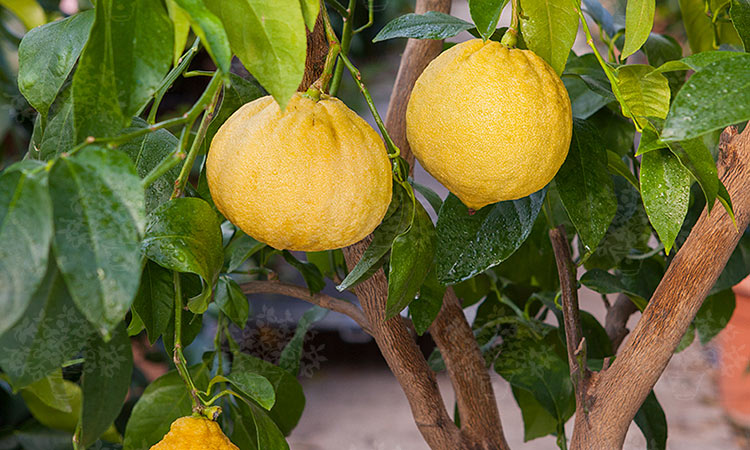 bergamotti-albero.jpg