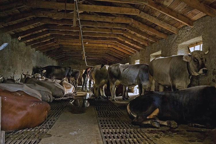 mucche-stalla.jpg