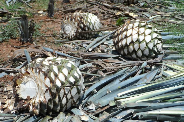 agave-tequilana.jpg