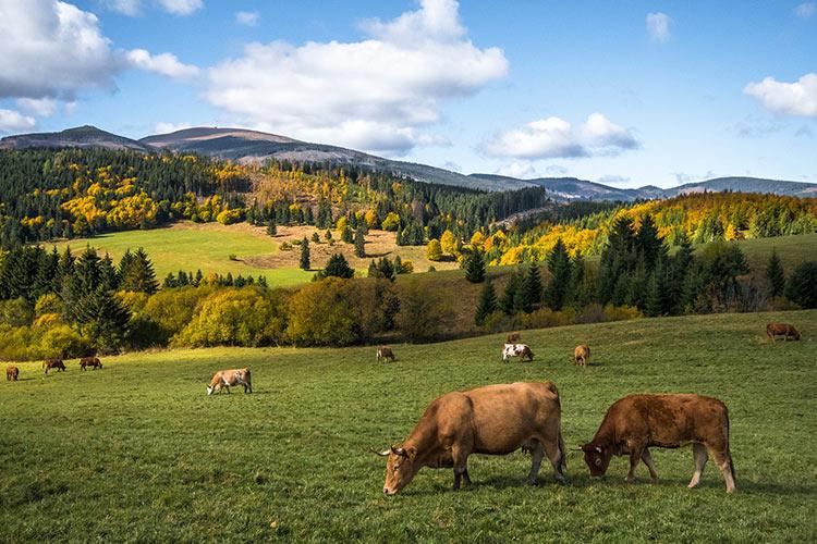 mucche-apertura.jpg