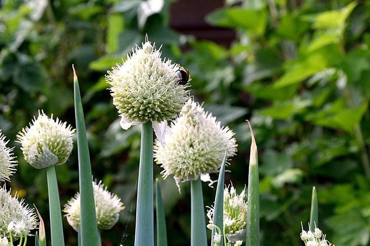 cipollotti-fiori.jpg